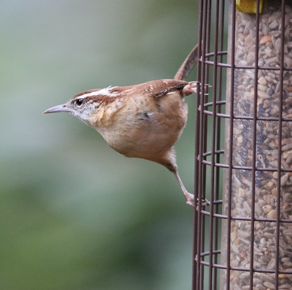 Photo of a Carolina Wren on a feeder. The Carolina Wren, (below) the state bird of South Carolina, is another frequent visitor to our feeders, who also likes the vertical life.