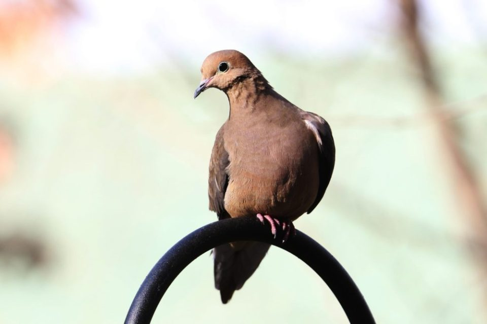 The Mourning Dove has a routine of first landing atop the Shepherd's Hook and, like the sparrow, will fly to the ground to take advantage of the leftovers.