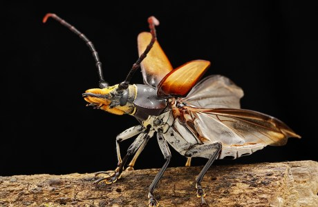 """Showcase 2020 Judges' Choice, Macro/Micro/All Other: """"Cerambycid Beetle, Belize, Central America"""" © Tom Myers"""