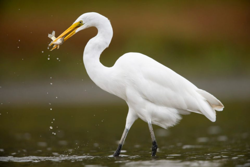 Photo of egret with a small fish in its bill. You don't have to travel to Florida to shoot tame herons and egrets. You can shoot them anywhere if you are hidden in a well-placed photography blind.
