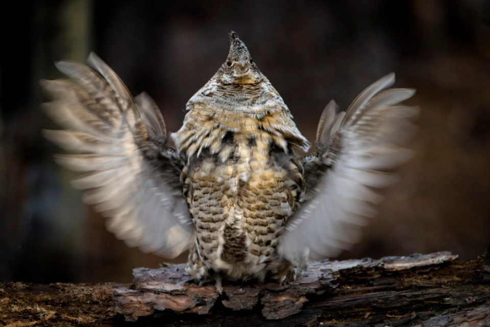 Photo of a grouse.  Species like this Ruffed Grouse on a drumming log require careful preparation, planning, and execution.