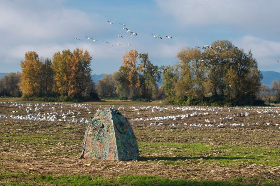 Image of a blind in an open field near a flock of snow geese.  Working from a photography blind at a sensitive location may mean leaving and departing in darkness so you don't disturb your subjects. Make sure you have chosen your setup location well as there may not be an opportunity to move your blind mid-shoot.