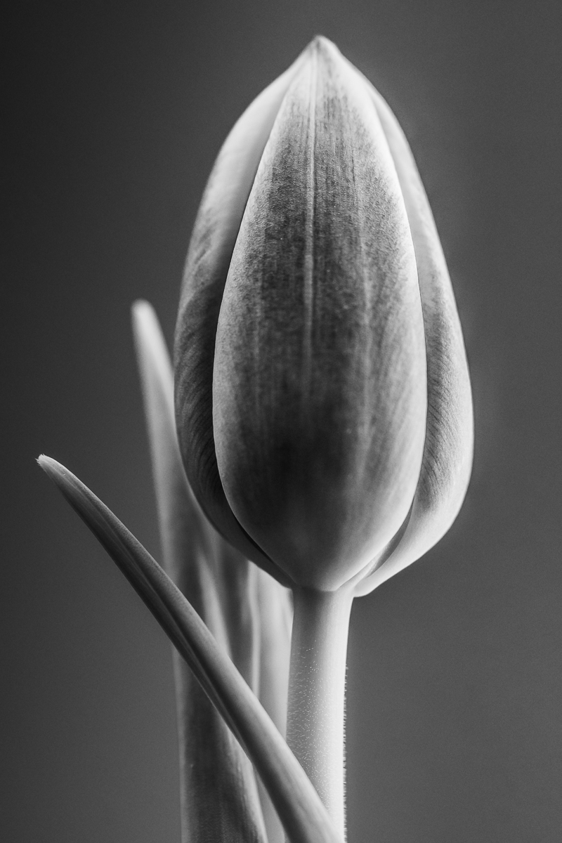 A straightforward image of a tulip converted to black and white to highlight how the light falls on the subject.