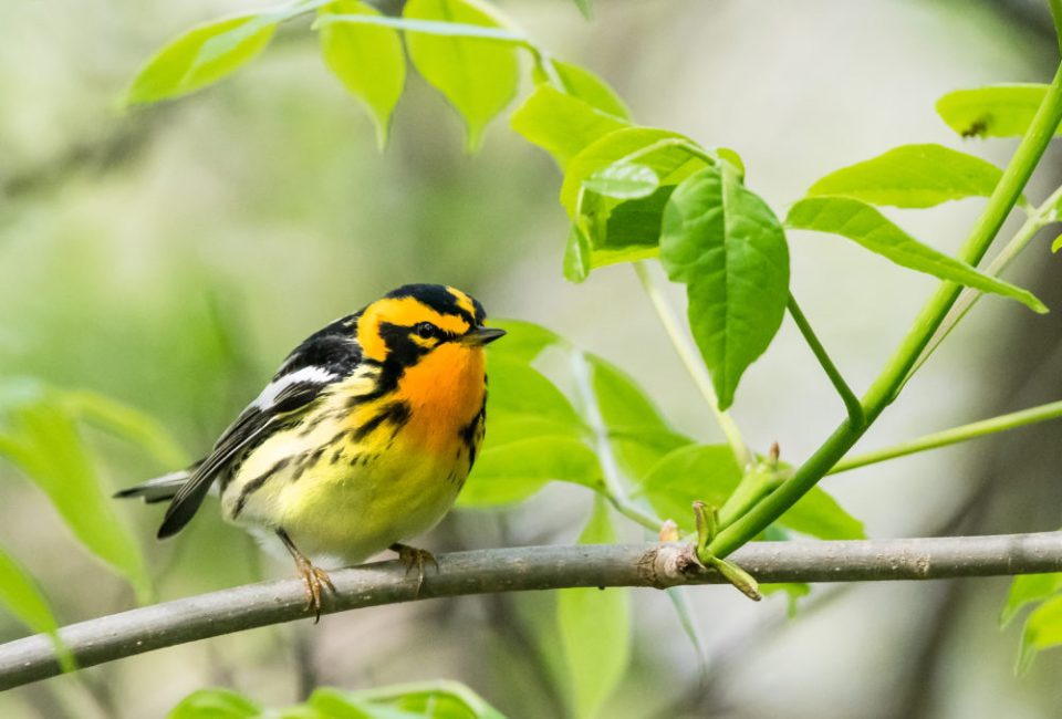 Blackburnian warbler perched on a branch