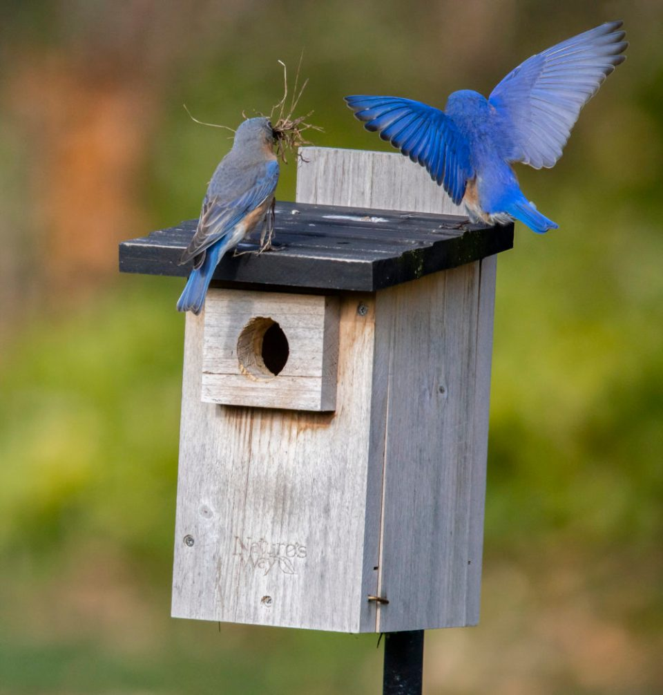 The male bluebird flies up to his guard station.
