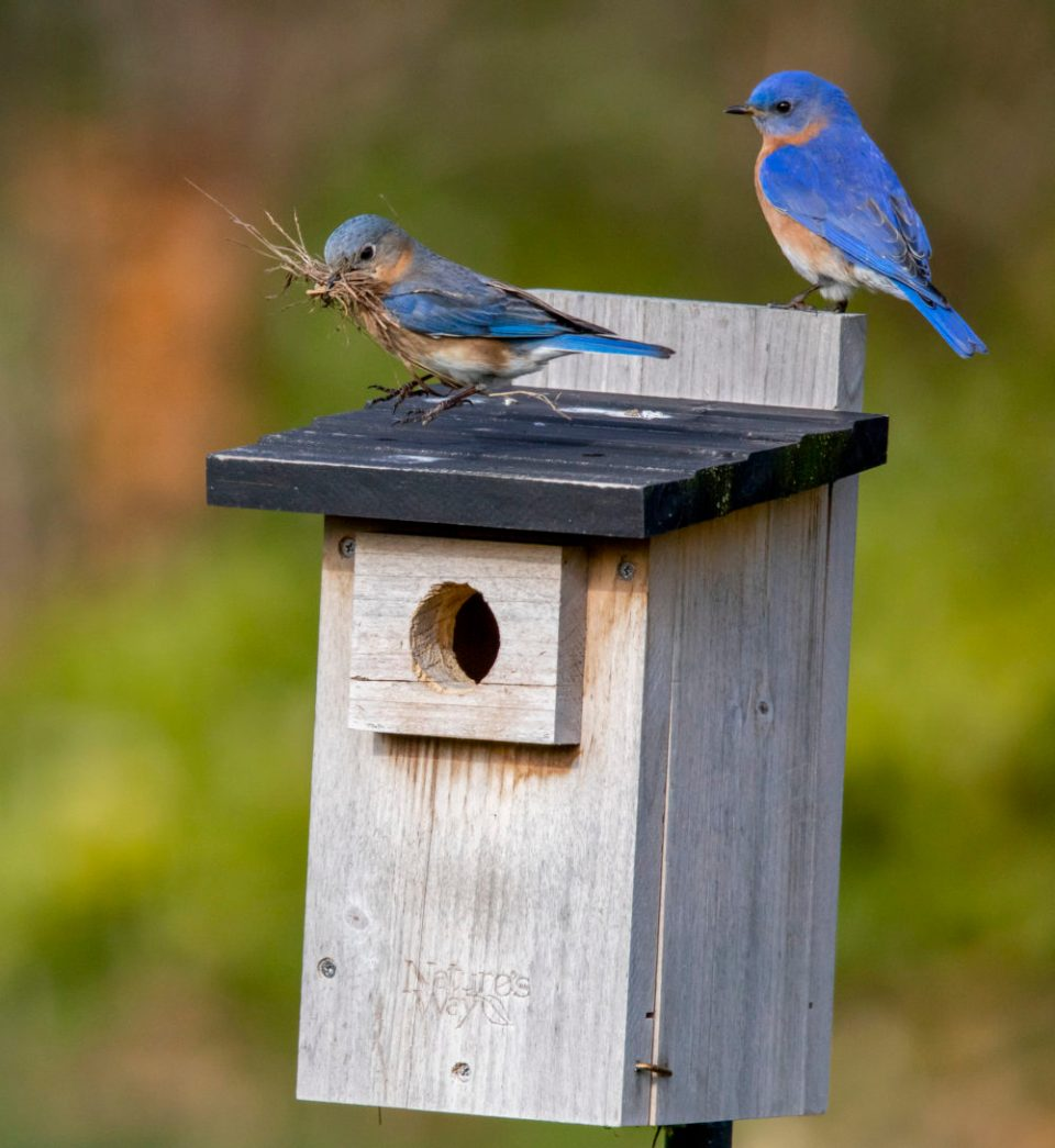 The female bluebird turns around as the male takes up his post.