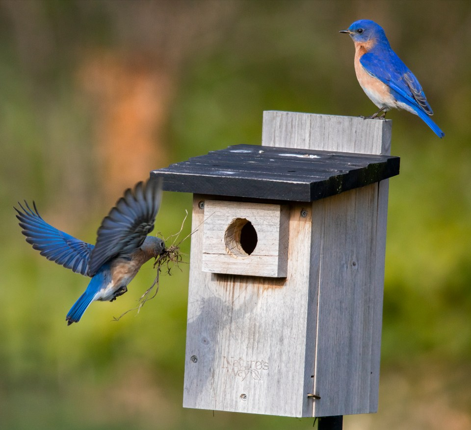 The decisive moment when the female bluebird approaches the nest while the male bluebird stands guard.