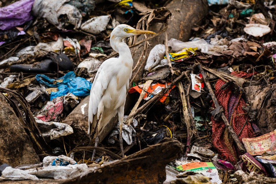 "Showcase 2020 Top 100 winner: ""Cattle Egret in the Boragaon Landfill"" © Carla Rhodes"