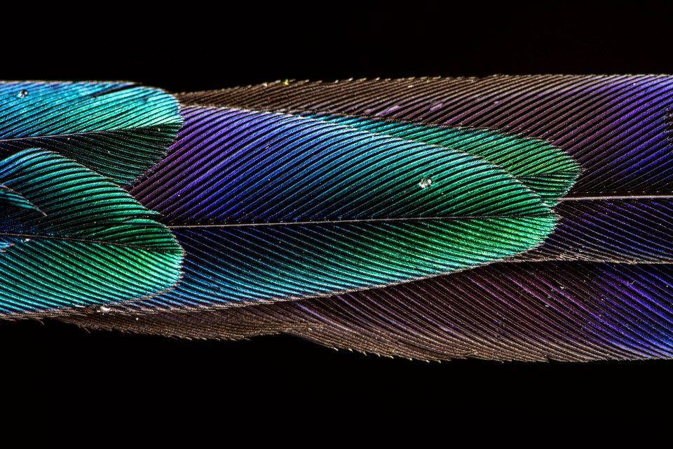"Showcase 2020 Top 100 winner: ""The Magnificent Tail of a Violet-tailed Sylph"" © Scott Trageser."