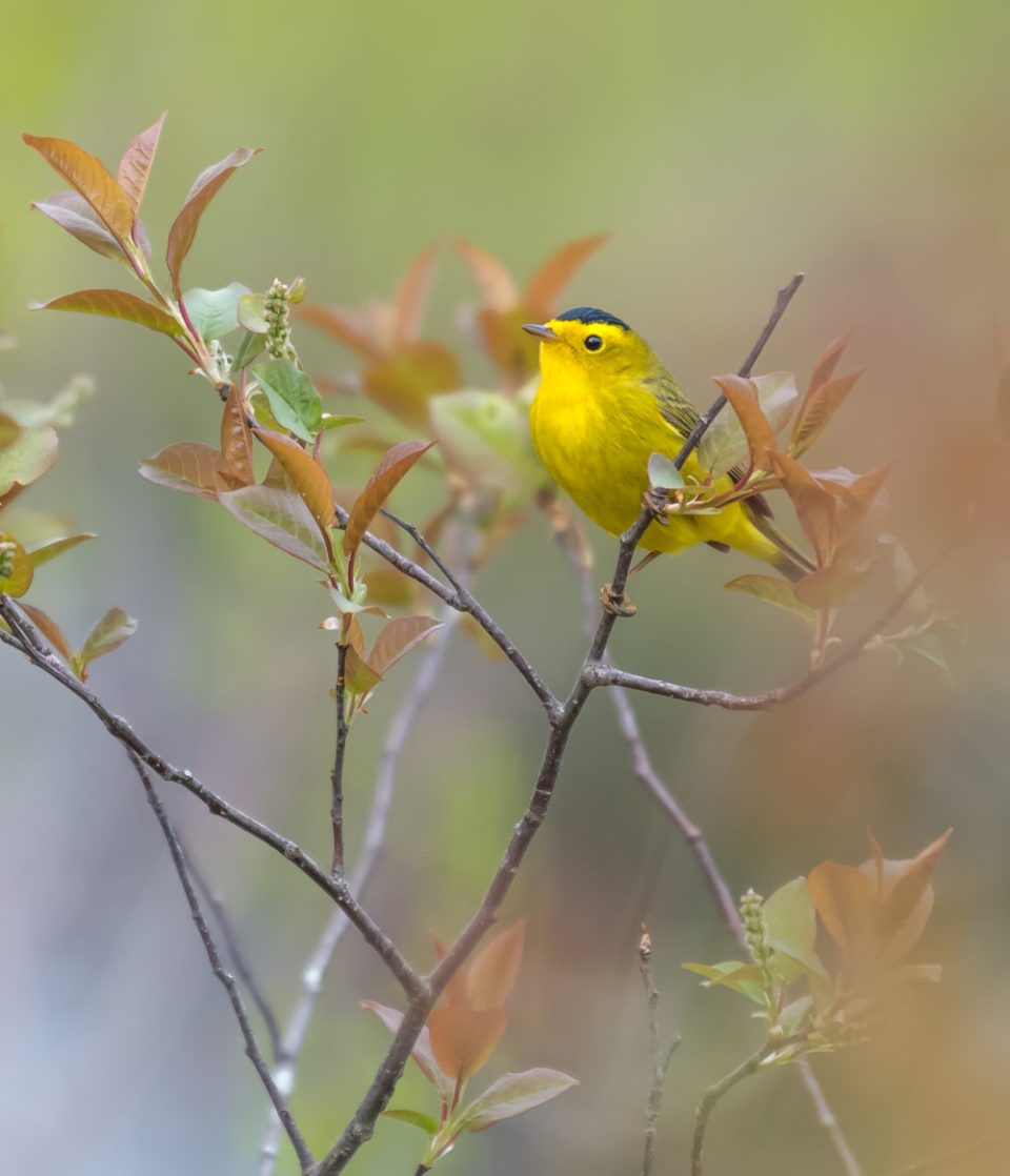 Wilson's warbler perched on a branch