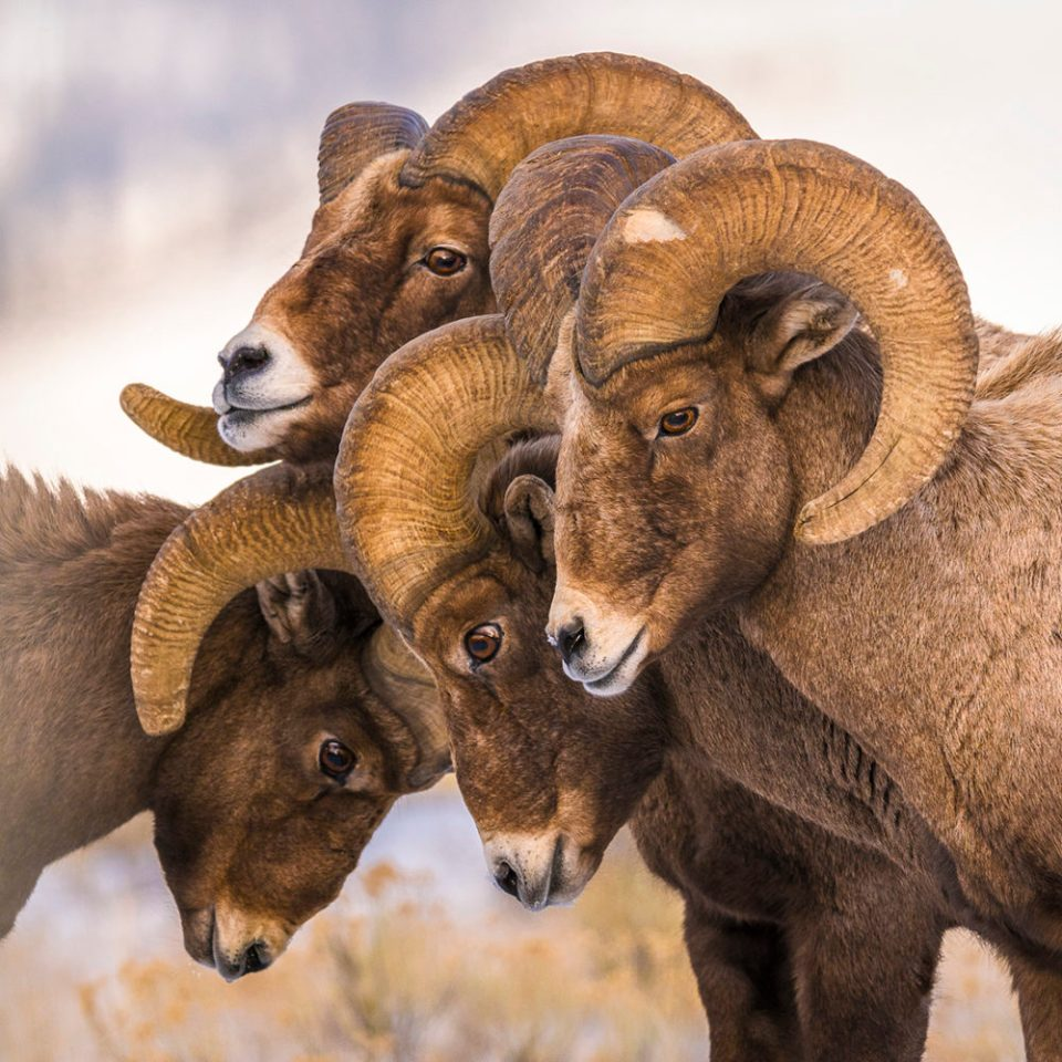 "Showcase 2020 Judges' Choice, Mammals: ""Bighorn Huddle"" © Wiebe Gortmaker"