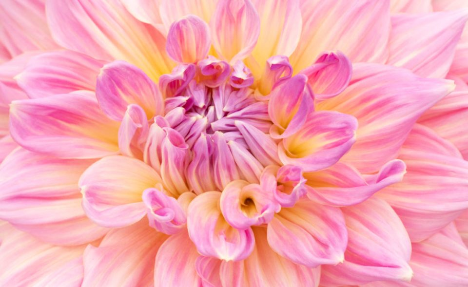 Photo of a dahlia shot at f/11.