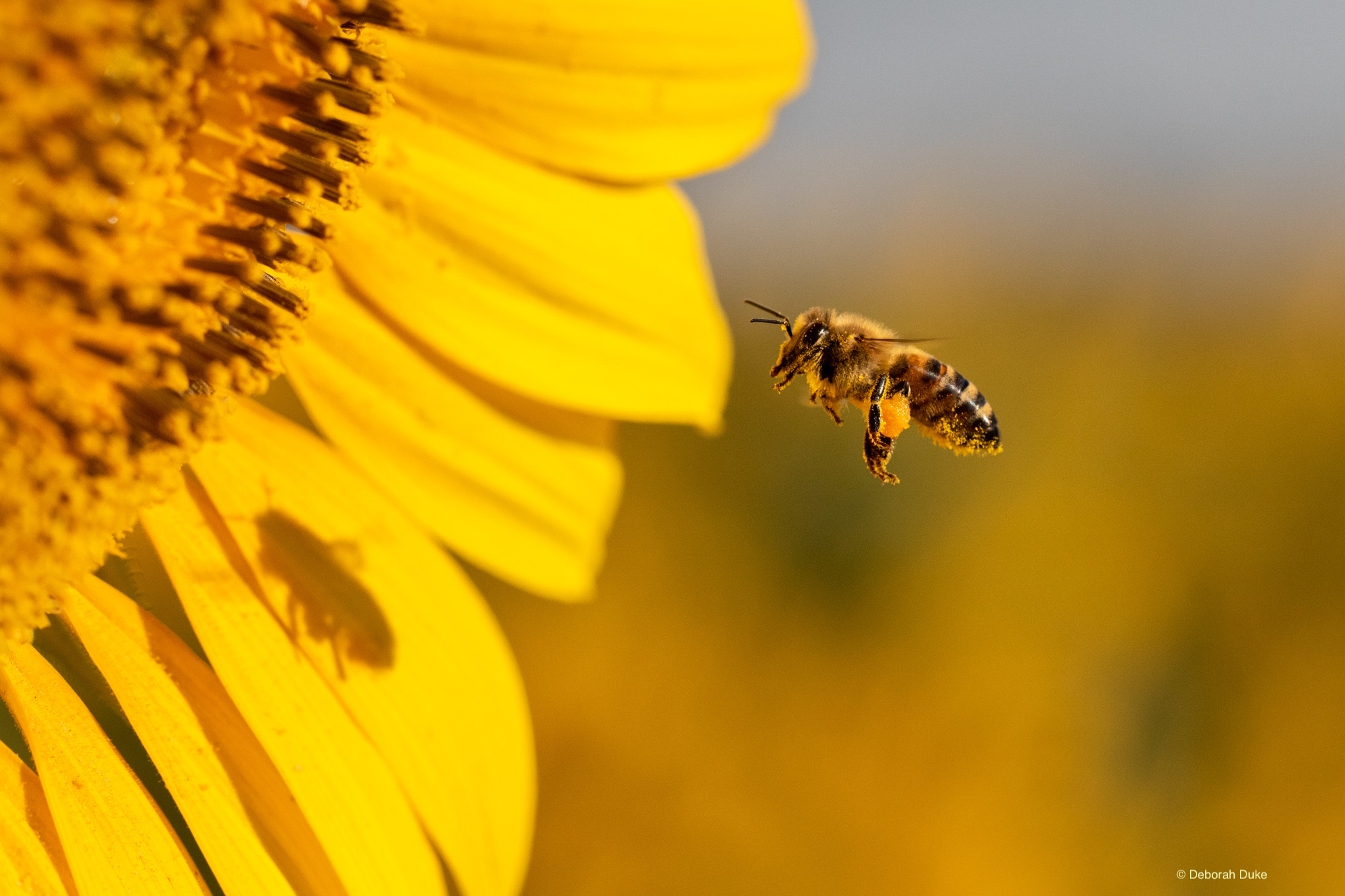 Honey bee approaching a sunflower, image by Deborah Duke