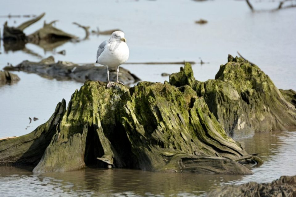 Gull on a Stump, Mill Creek Marsh