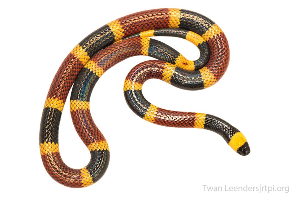 Photo of a coral snake