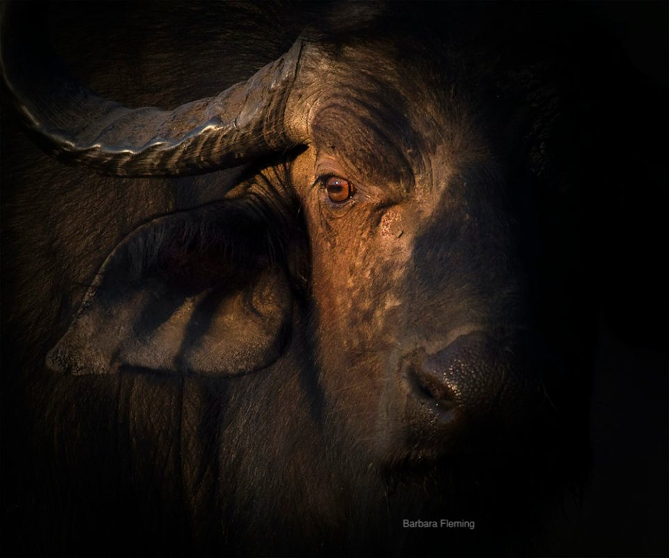 "Showcase 2020 Top 100 Winner: ""Cape Buffalo in Morning Light, Chobe National Park, Botswana"" © Barbara Fleming"