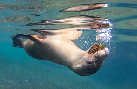 "Showcase 2020 Top 100 winner: ""Galapagos Sea Lion Blowing Bubbles at Me"" © Susan McConnell"