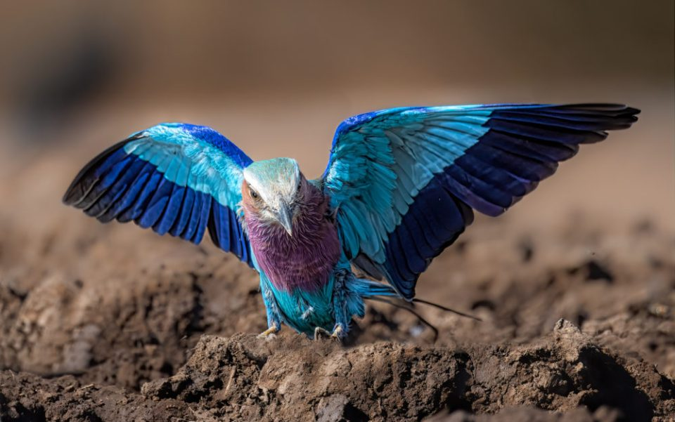 Photo of a lilac-breasted roller. The action of the wings adds interest. A low perspective gives a unique view on this subject. DOF and lighting increase visual appeal. © Donna Brok