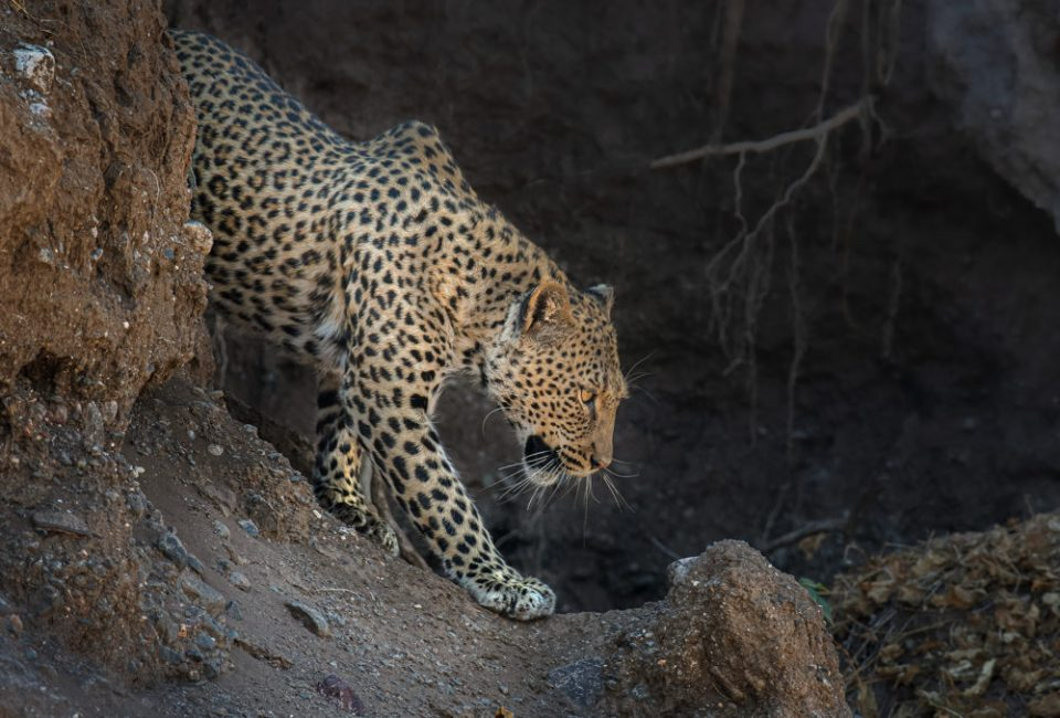 The background has a hint of vines and earth. It shows the leopard leaving the cave in the cliff face. Warm and cool colors make the image stronger. Dodging and burning brought out what was important. Nikon D500, 500mm f/5.6E Pf, 1/640 @ f/5.6, ISO 360 © Donna Brok