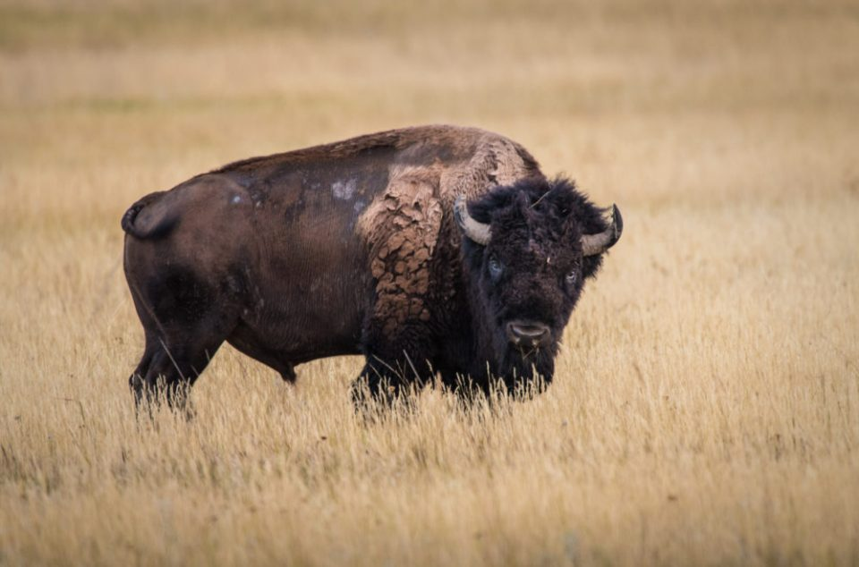 Majestic American Bison © Tom Haxby