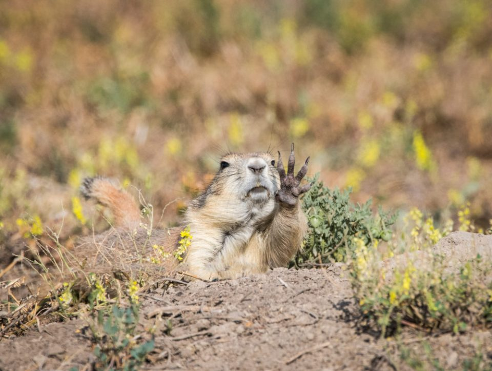 Prairie Dog Waves Hello © Tom Haxby