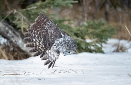 Grey owls typically punch through the snow to capture the prey moving beneath the surface, as seen in this image. However, we often see images of great grey owls swooping down to pluck mice off the top of the snow. That is indicative of a scene captured using store-bought mice. © Daniel Dietrich