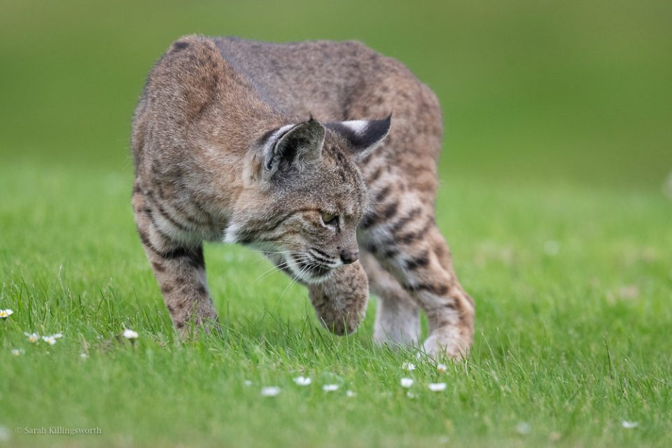 Successfully photographing predators hunting requires patience. After finding this bobcat flattened out in the grass hunting, instead of pushing in to try for a face shot, I chose to sit back and wait. After 20 minutes, the bobcat rose to pursue a gopher. © Sarah Killingsworth
