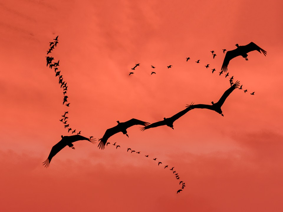 Sandhill Crane and Snow Geese Migration, image by Adriana Greisman