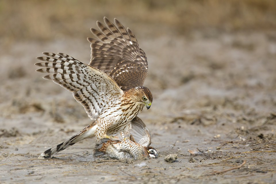 Sharp-Shinned Hawk Takes a Northern Bobwhite, image by Brian E. Small