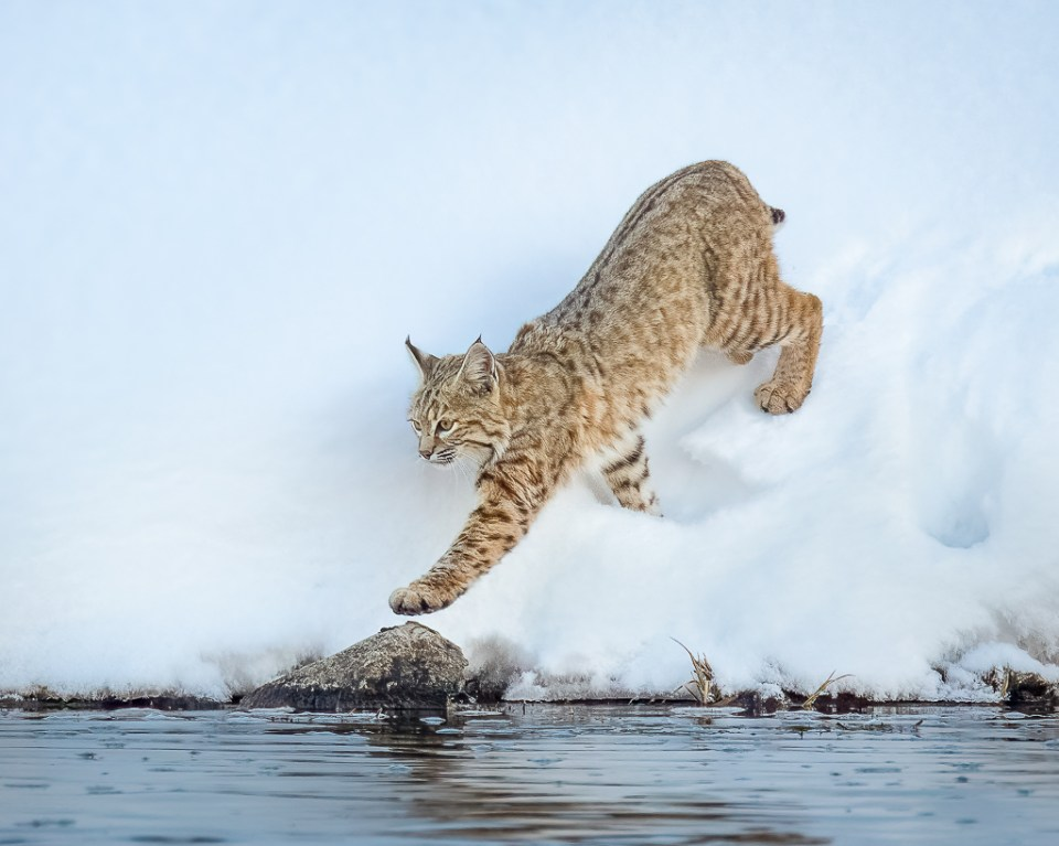Bobcat Hunting along the Madison River, Yellowstone National Park, image by Carol Grenier