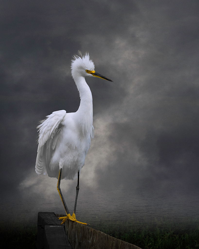 Altered image of snowy egret near water by Cheryl Medow