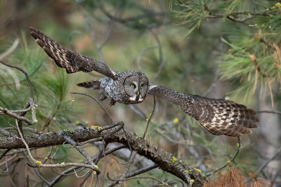 Great Gray Owl in Flight, image by David Armer