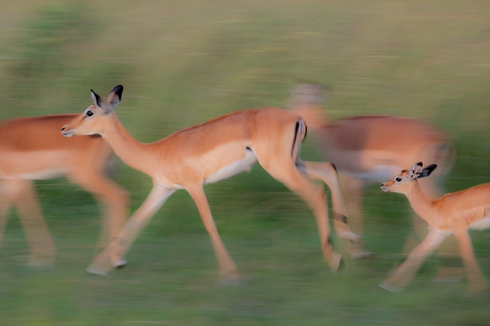 Impala Herd on the Run, image by Don Kellett