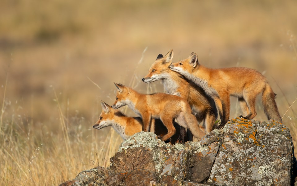 Four Red Foxes Gathered Close Together, image by Donald Quintana