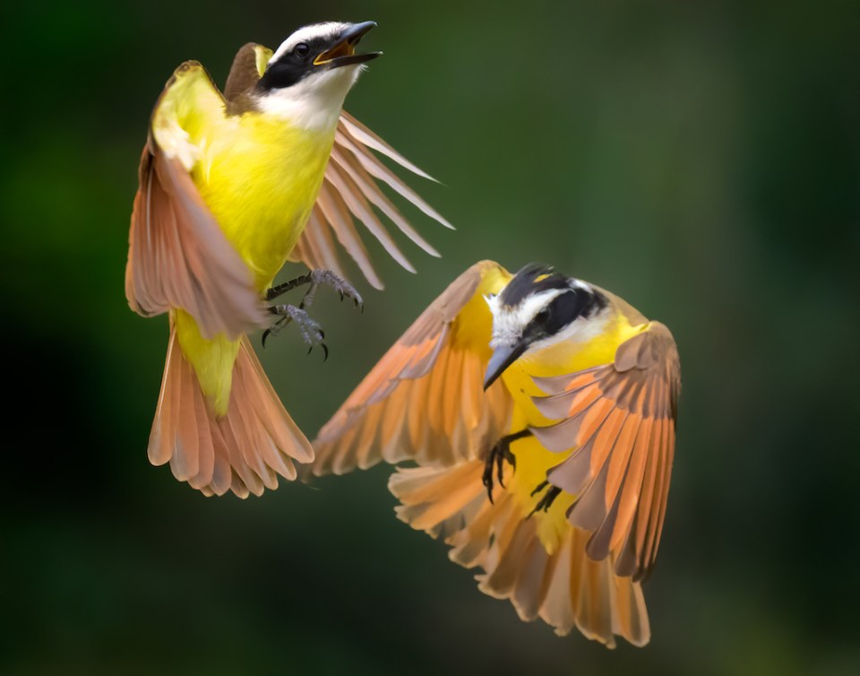 Two Great Kiskadees in Aerial Ballet, image by E Darrell Crisp