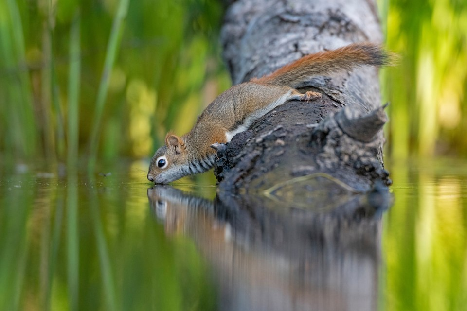 American Red Squirrel Getting a Drink in a Beaver Pond, image by George Sanker