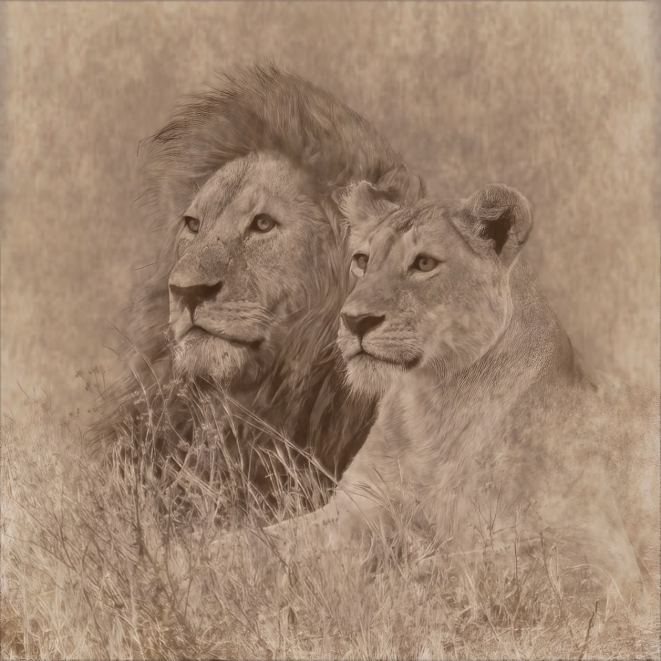 Sepia-toned altered photograph of lion pair in Tanzania by Jennifer O'Donnell