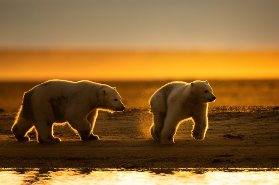 Polar Bear Cubs Play at Sunset, image by Jennifer Smith