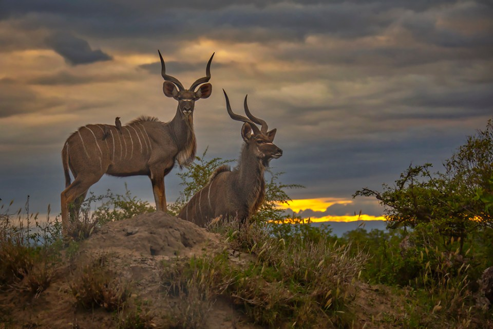 Two Young Kudu Bulls at Sunset, image by Kevin Dooley