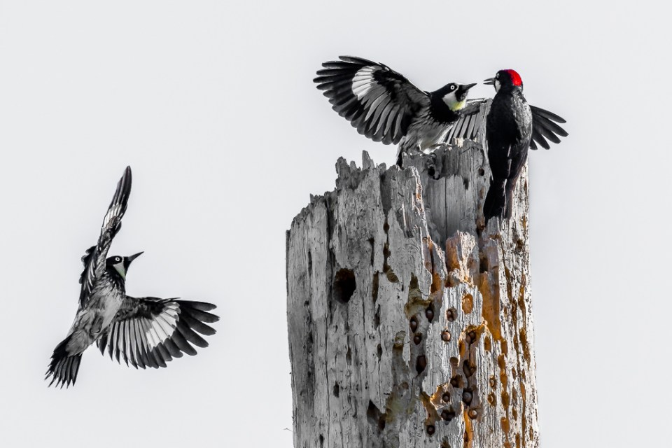 An Acorn Woodpecker Greets New Arrivals, image by Kevin Lohman
