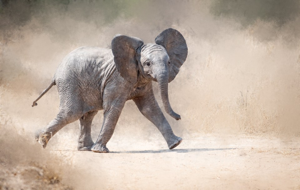 Young elephant in Kruger National Park, South Africa by Marty Purdy
