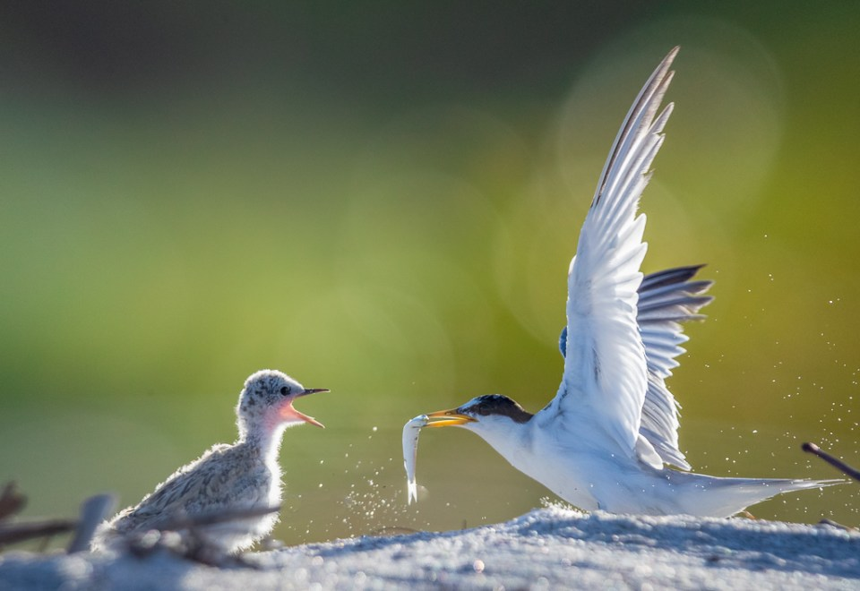 Threatened Least Terns, Adult Bird feeding Chick, image by Mary Lundeberg