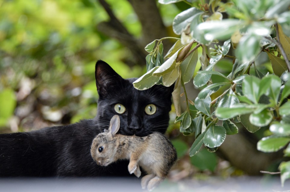 Free-Roaming Domestic Cat with young rabbit in mouth, image by Nicollet Overby