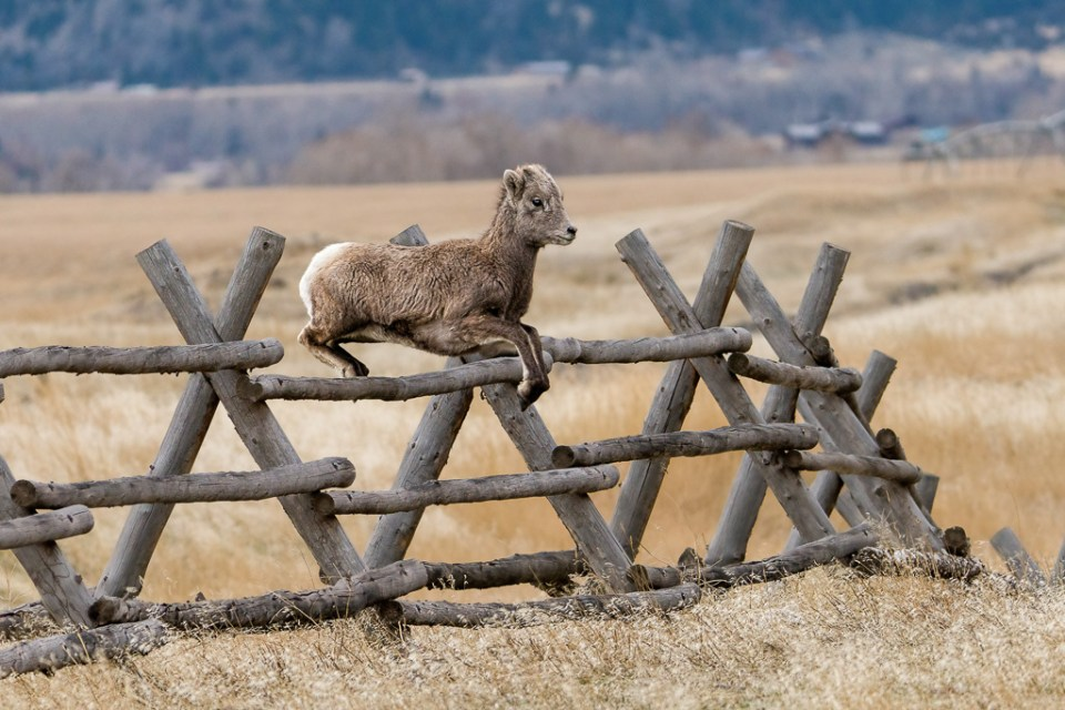 Lamb jumping over wood fence, image by Patricia Bauchman