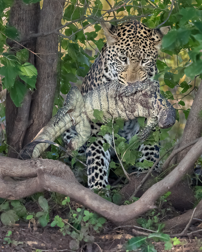 Young Leopard Carrying a Monitor Lizard, image by Patrick Pevey