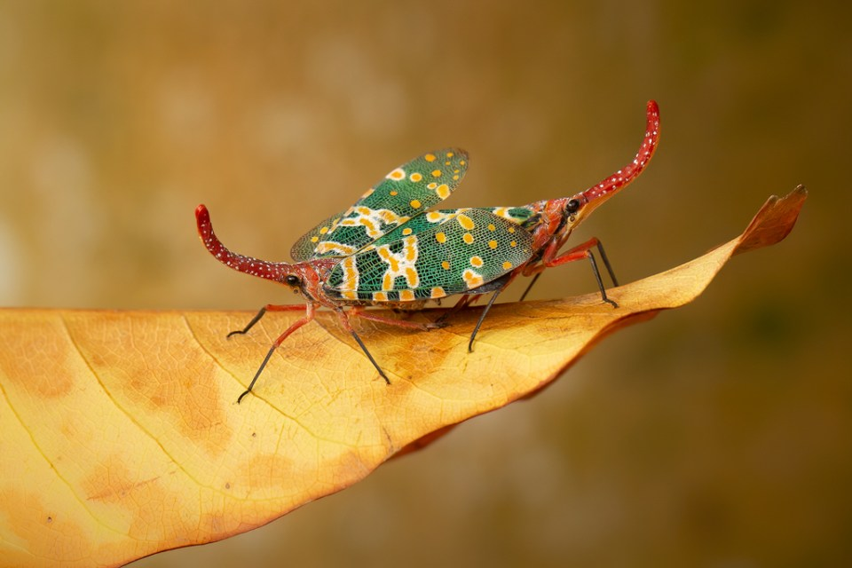 Mating Lantern Bugs on a Leaf, image by Robert Ferguson