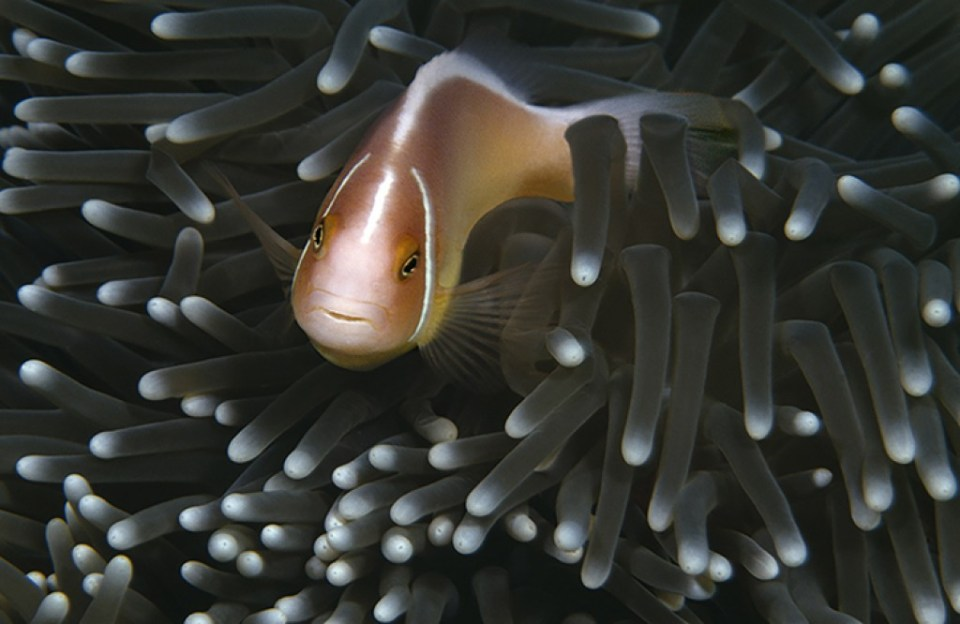 Colorful Clownfish or Damselfish in an Anemone, image by Roger Johnson