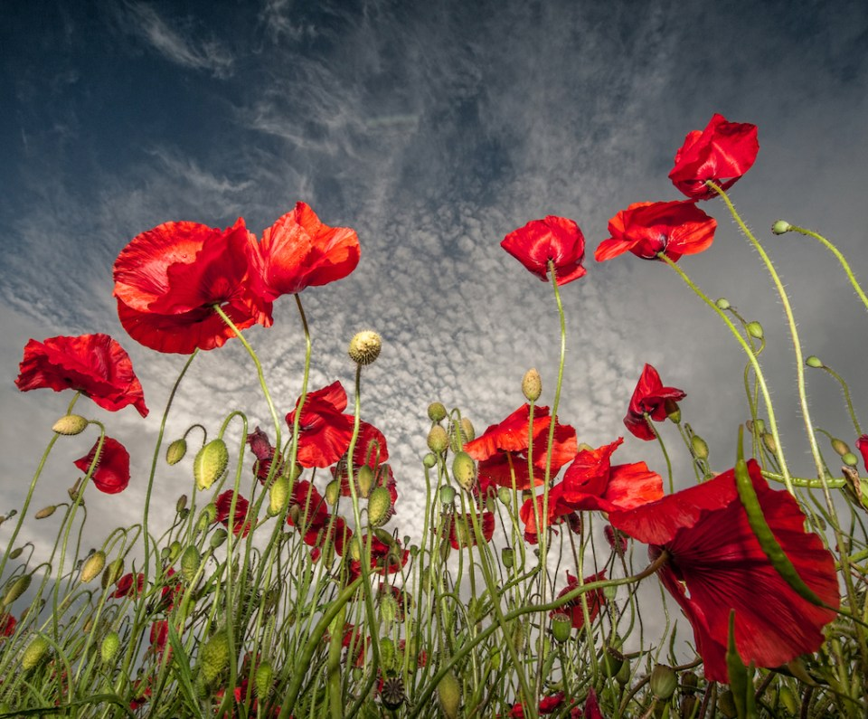 Dramatic Flowerscape of English Poppies, image by Scott Wilson