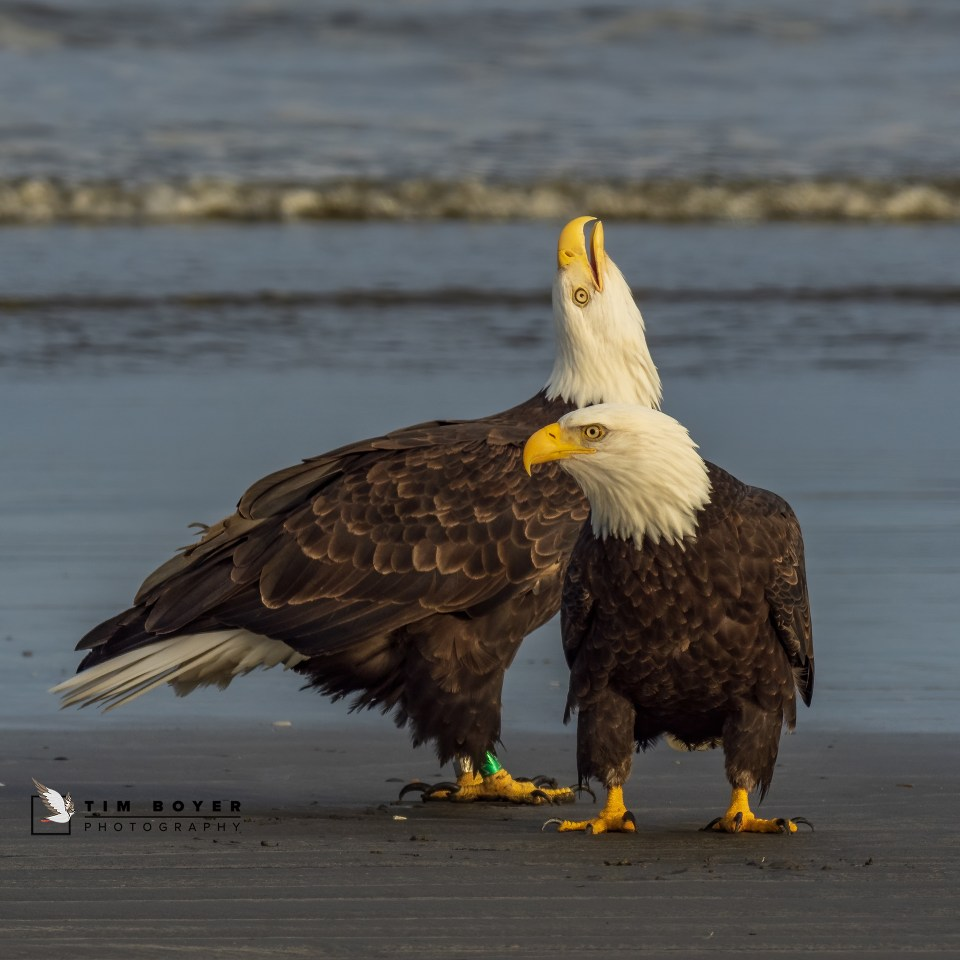 Pair of bald eagles on the shore. © Tim Boyer