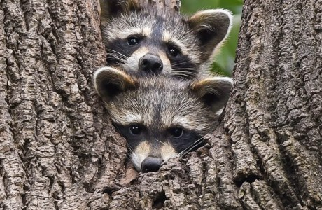 Photo of two baby raccoon faces in a tree. © Keith Freeburn